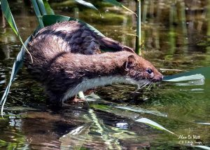 Stoat hunting in the reed beds at Sculthorpe Moor Nature Reserve