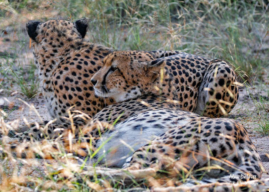 Cheetahs waking up