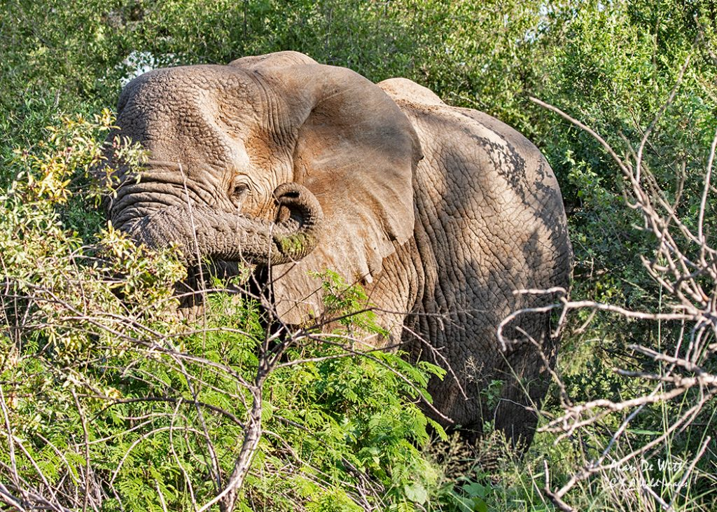 Female Elephants hiding in the thick bush