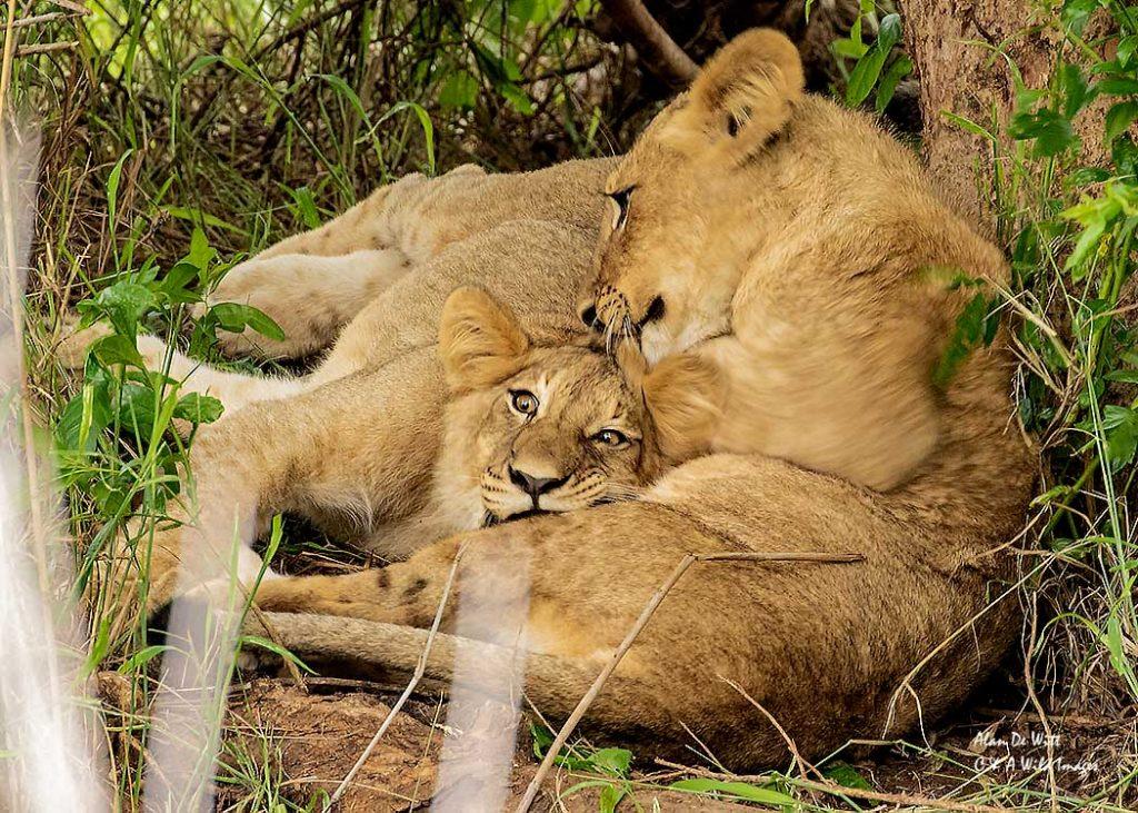 Lion cubs taking a rest