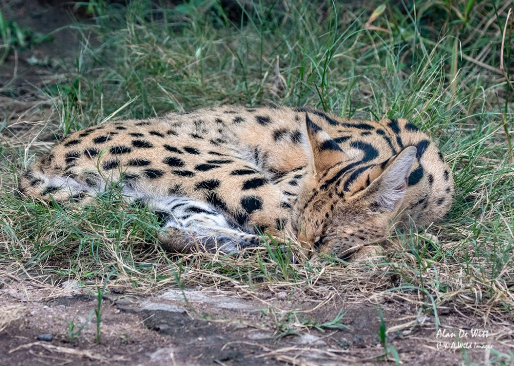 One of the Serval's in the breeding programme