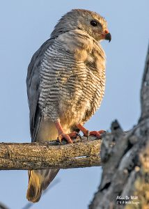 Lizard Buzzard