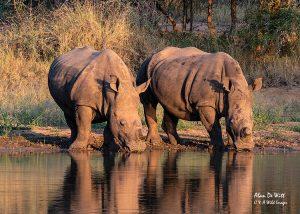 White Rhinos at waterhole