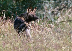 Male Cape hunting dog