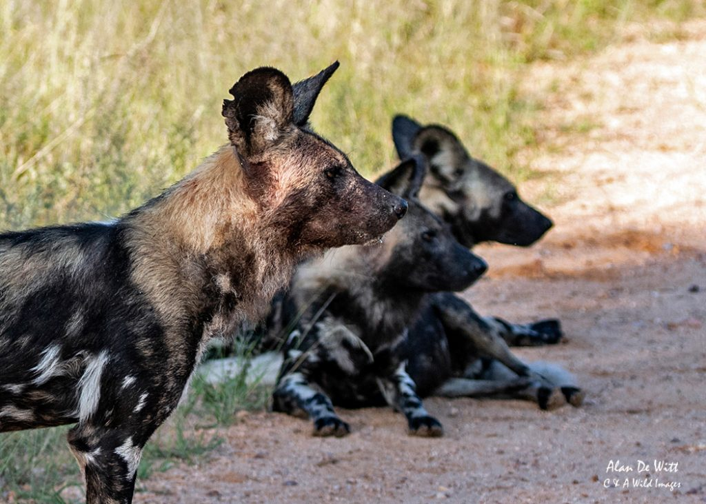 Three members of the African hunting dogs watching the Hyenas