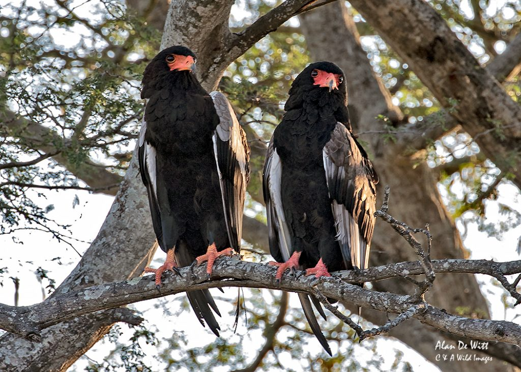 Pair of Bateleur Eagles