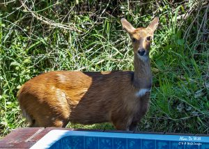 Bushbuck checking out the jacuzzi