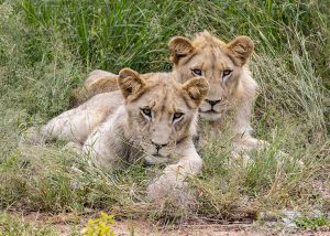 Timbavati White Lion cubs