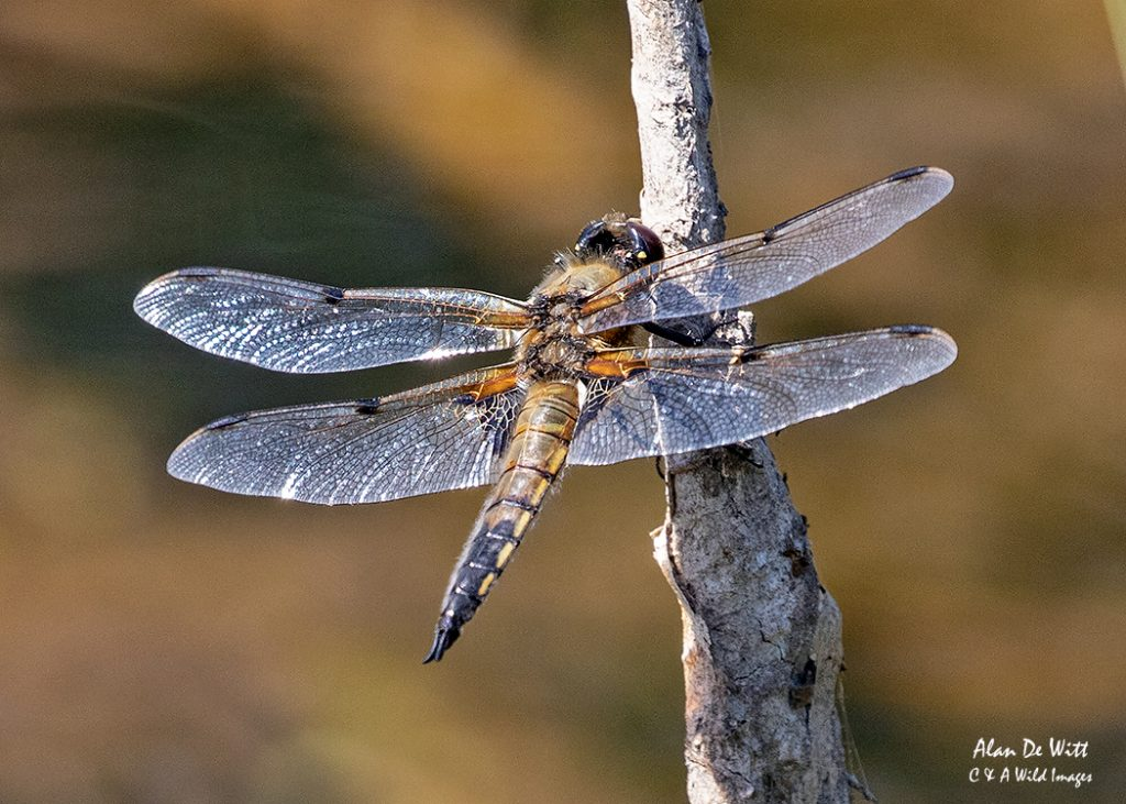 Four spotted Chaser warming itself in the early morning sun
