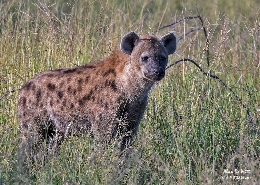 First sighting of the Hyena