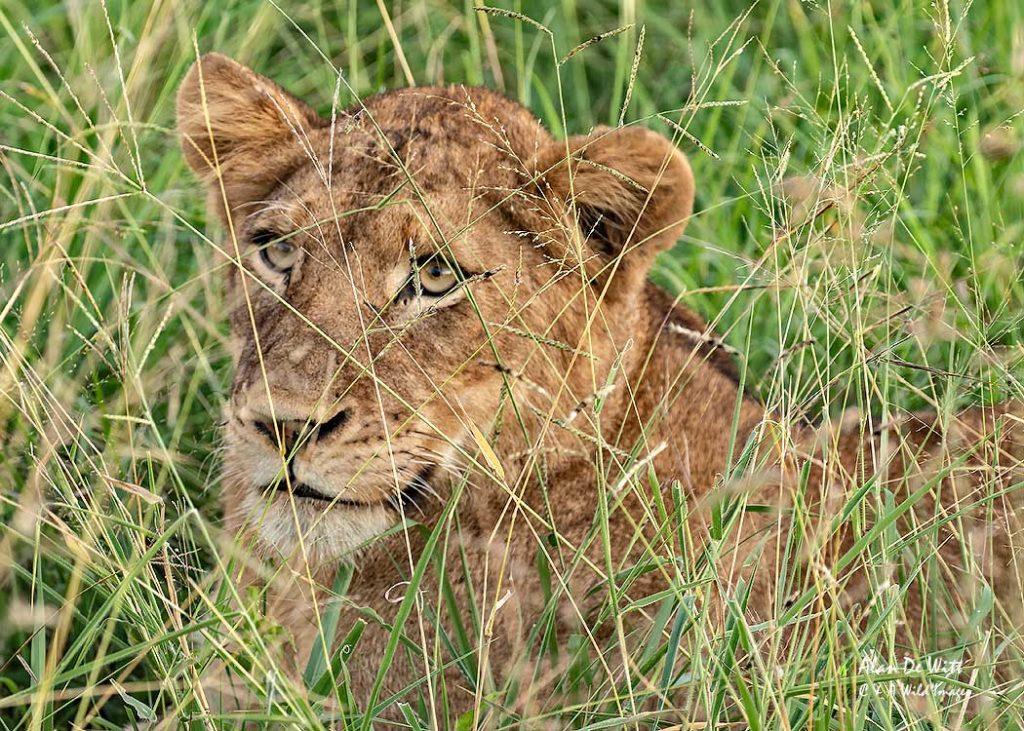 Lion cub hidden in the grass