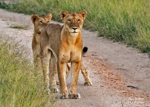 Lioness and cub stand off