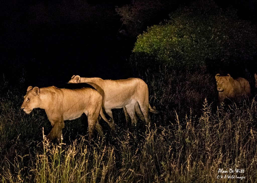 The pride of lions on the move at night