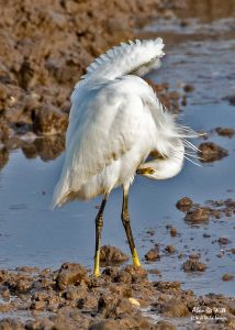 Little Egret preening on the Volunteer Marsh at Titchwell