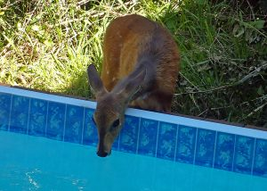 Bushbuck at the watering hole<