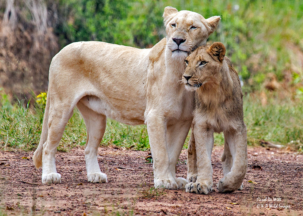 Timbavati White Lioness and cub