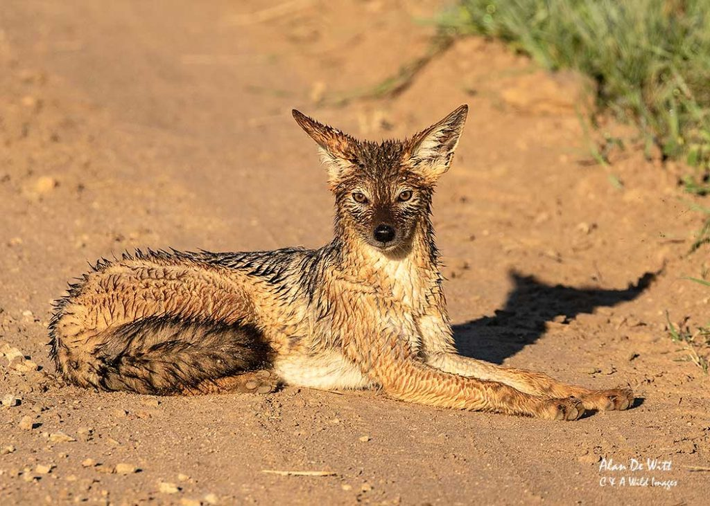 African black-backed jackal covered in morning dew