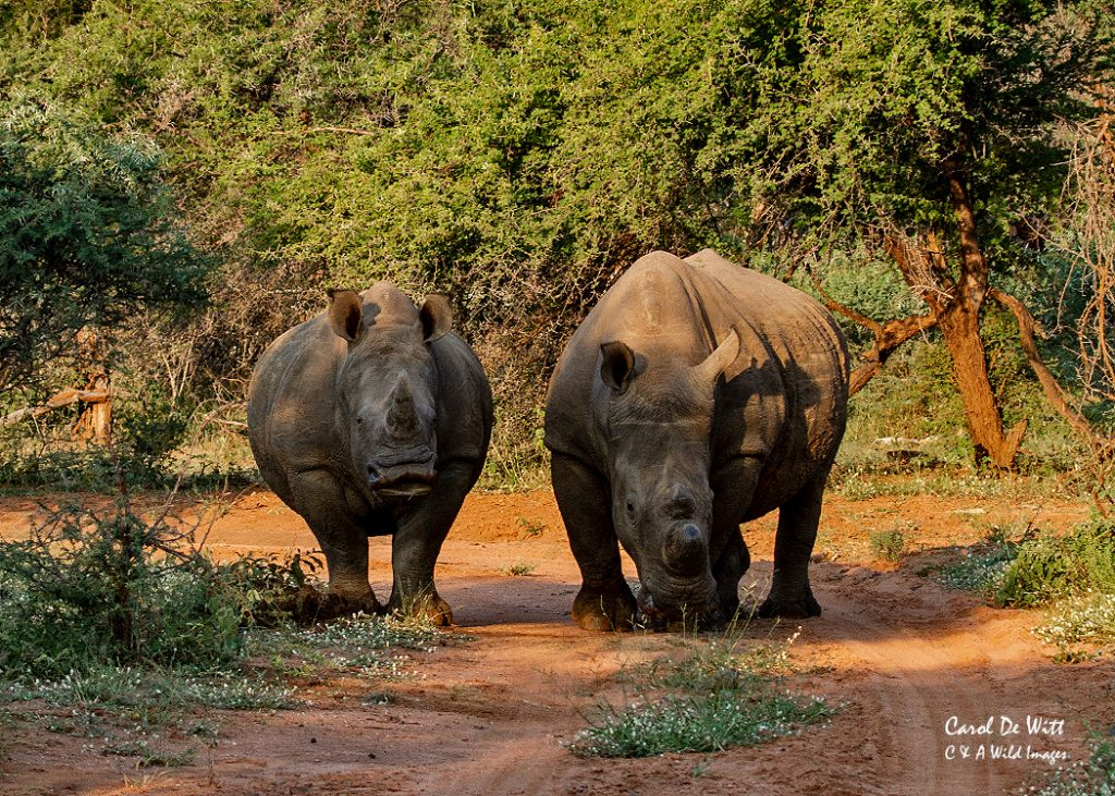 Pair of Rhino at Sundown