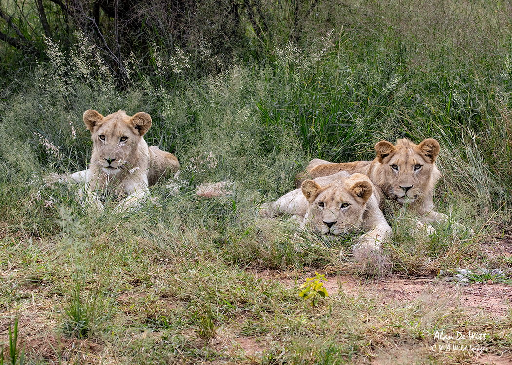 Three Timbavati White Lion cubs