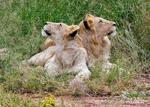 Two Timbavati White Lion cubs