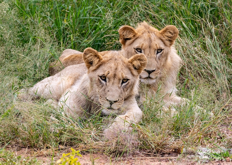 Timbavati White Lion Cubs