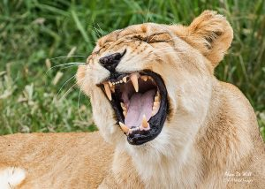 White Lioness snarling
