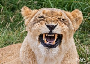 White Lioness Gurning