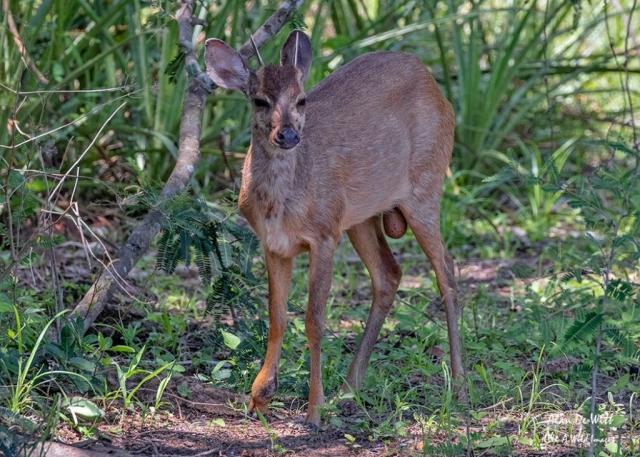 Male Brocket Deer