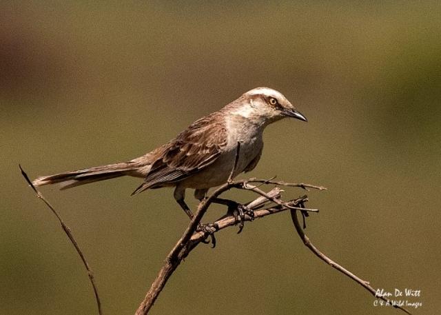 Chalk-browed-Mockingbird