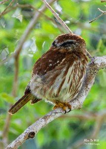 Ferruginous-Pygmy-Owl showing its false eyes