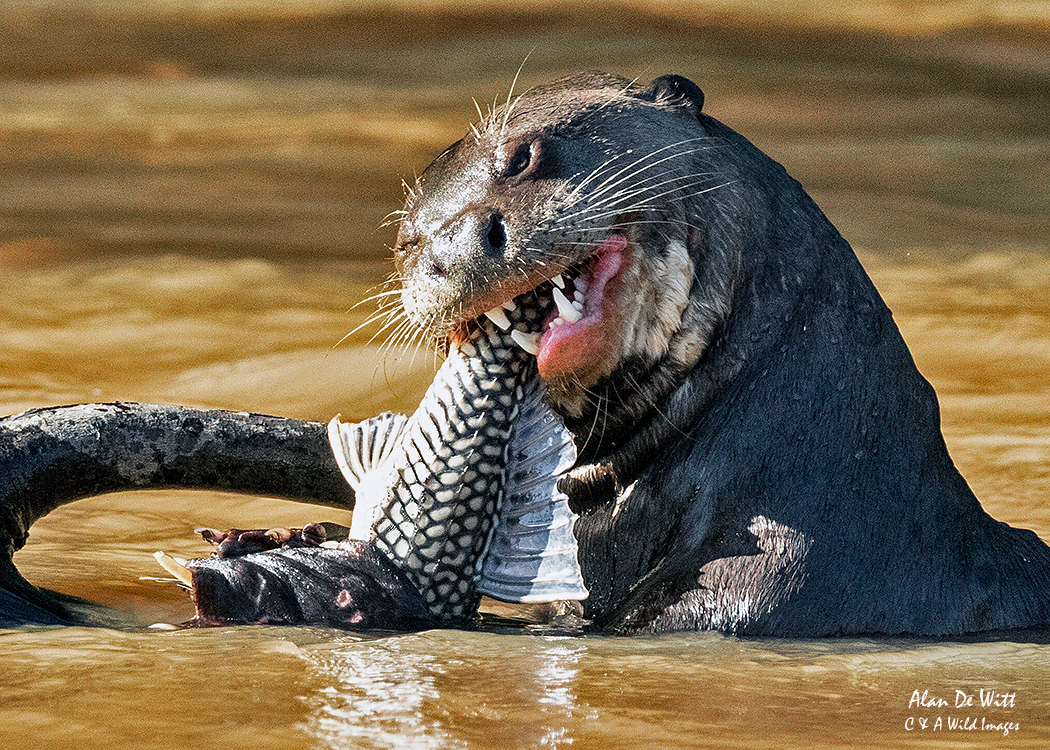 Giant River Otter with fish