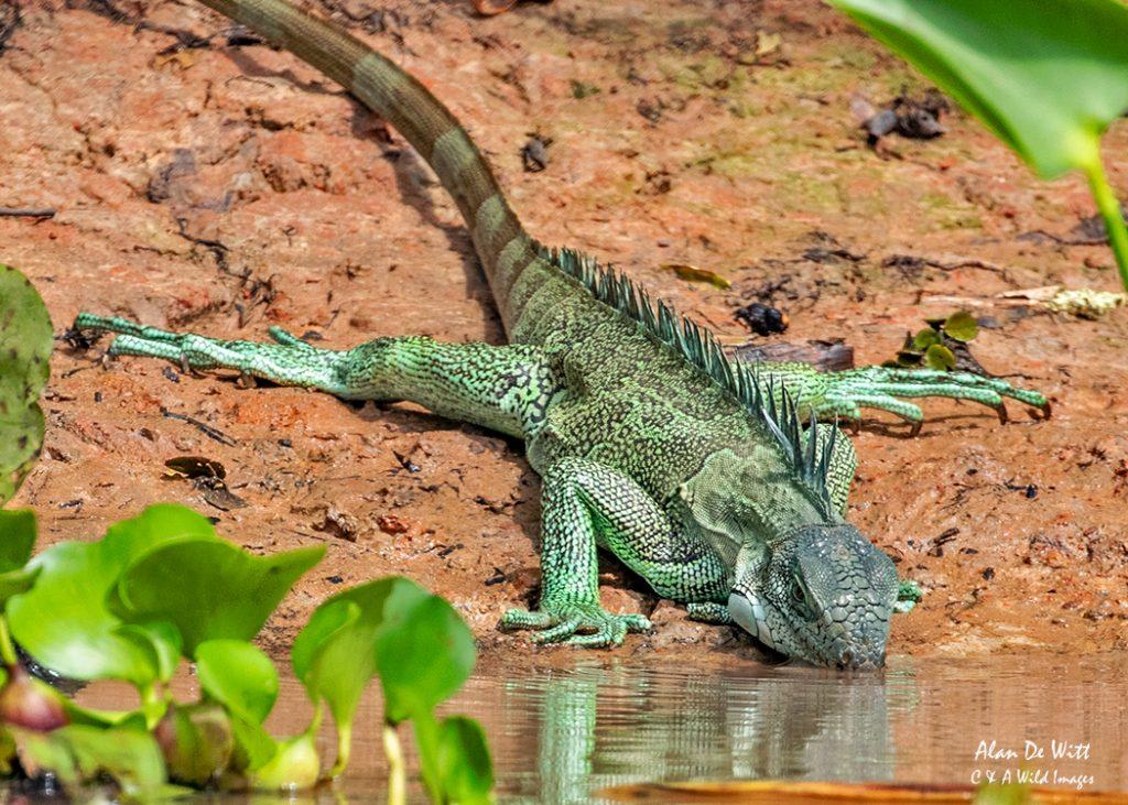 Common (Green) Iguana