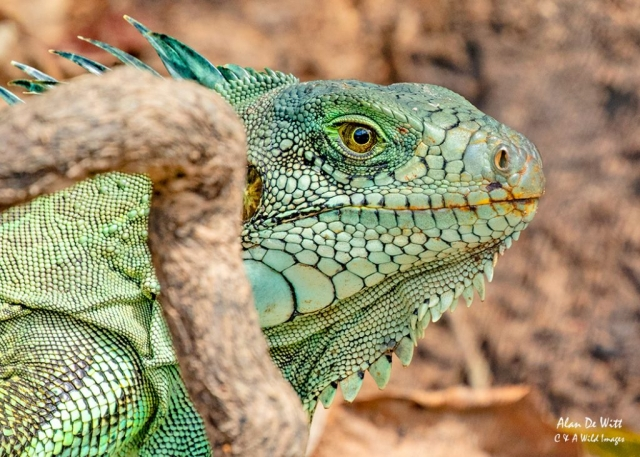 Adult Green-Iguana head shot