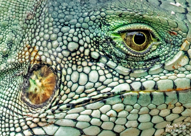 Green-Iguana eye