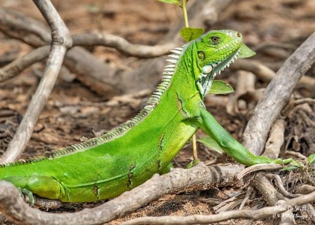 Young Green-Iguana