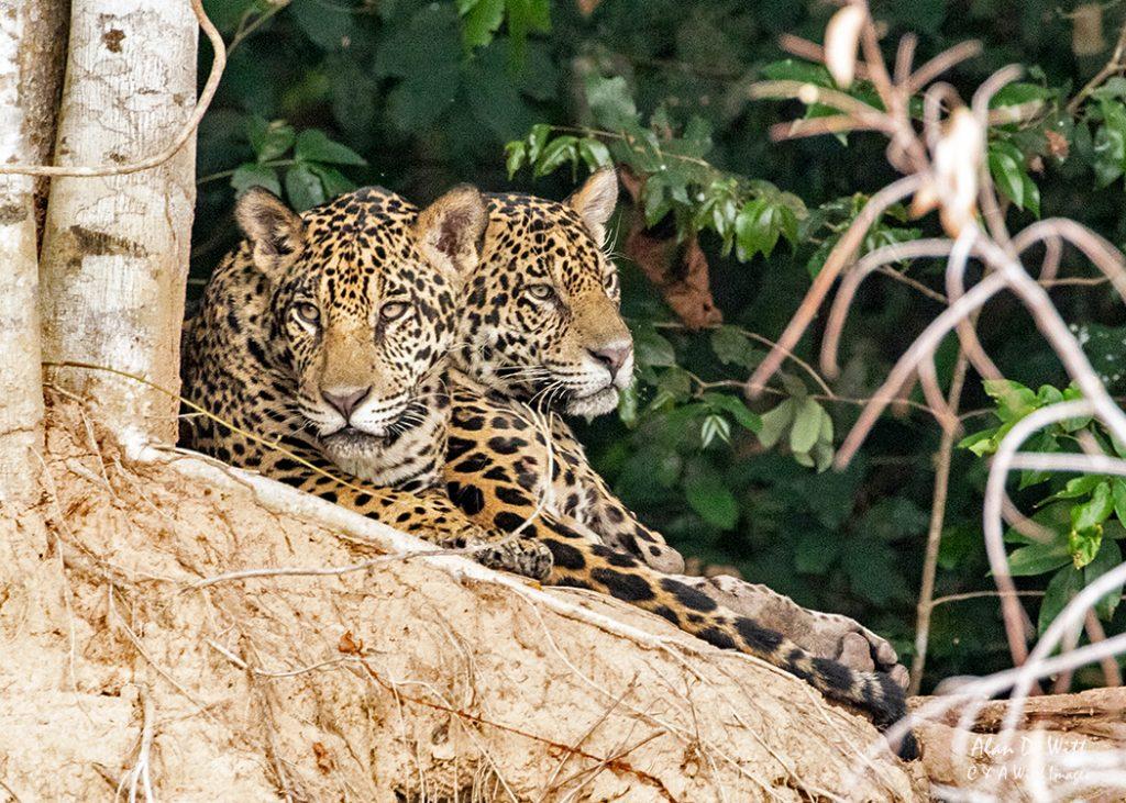 Jaguar brothers Kim & Tore