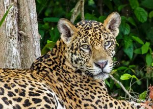 Jaguar (Tore) resting up on the banks of the Cuiaba River