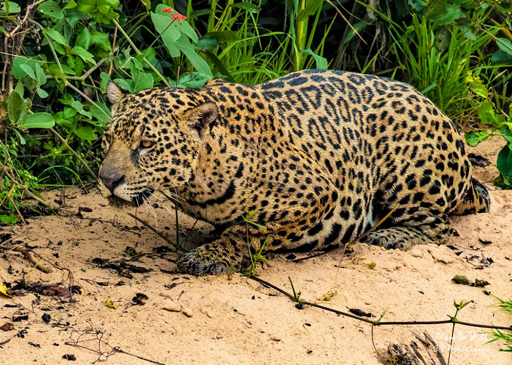 Jaguar (Ginger) stalking the Capybara