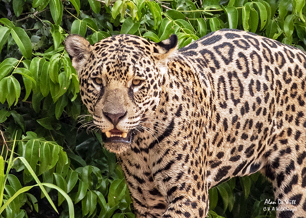 Jaguar (Ginger)