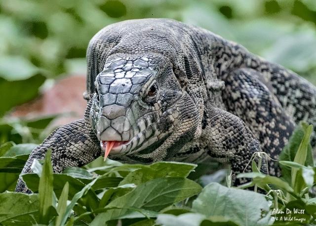 Paraguay Caiman Lizard