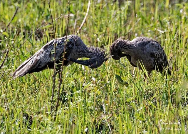 Pair of Plumbeous Ibises