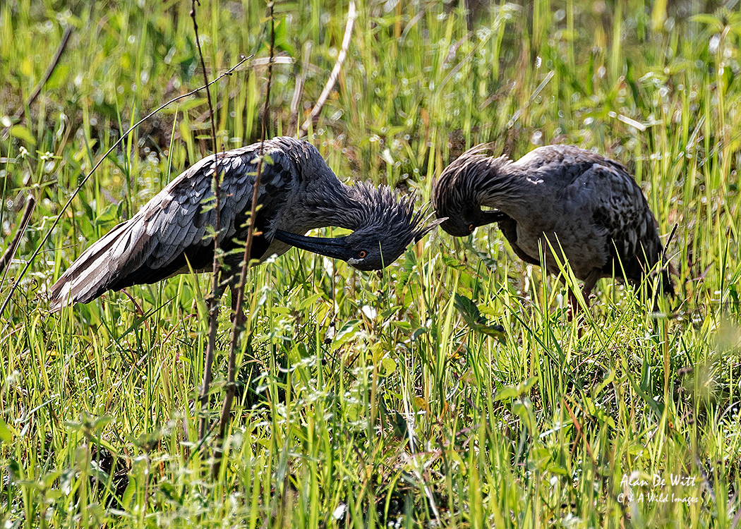 Plumbeous Ibises pair