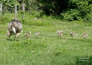 Male Rhea and his 10 offspring