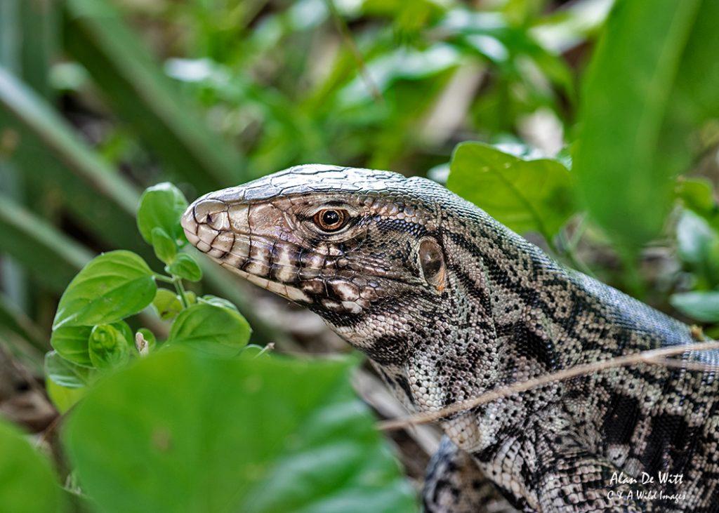 Black-and-white Tegu Lizard