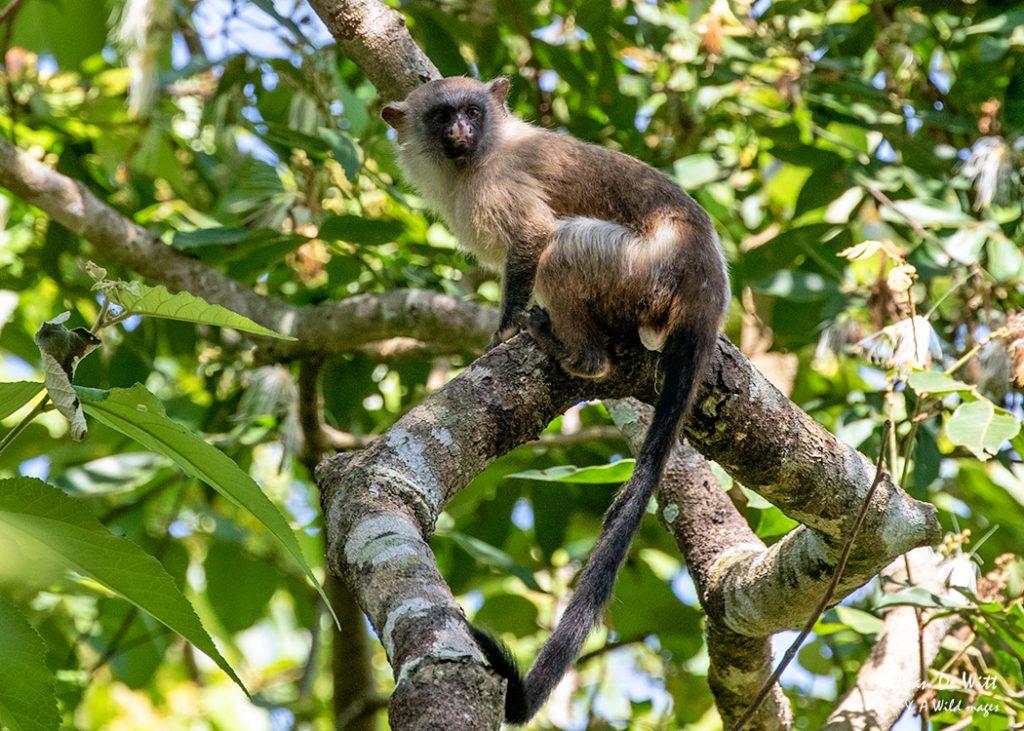 Silvery Pantanal Marmoset