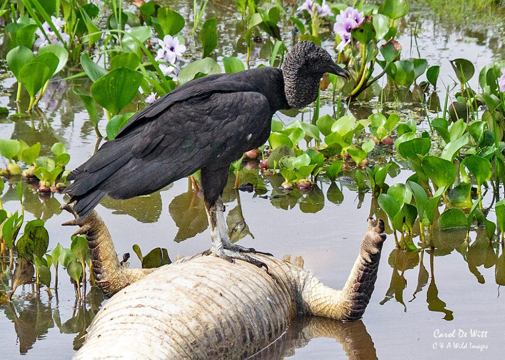 Black headed vultures feeding on Yacare caiman