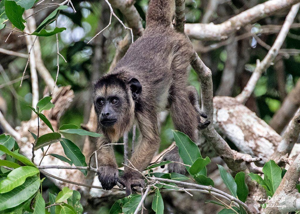 Black Capped Capuchin Monkey