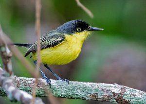 Common-Tody Flycatcher