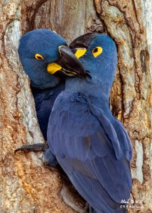 Pair of Hyacinth Macaws