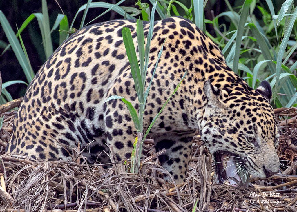 Jaguar regurgitating grass